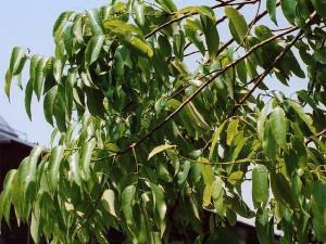 Quercus_myrsinaefolia