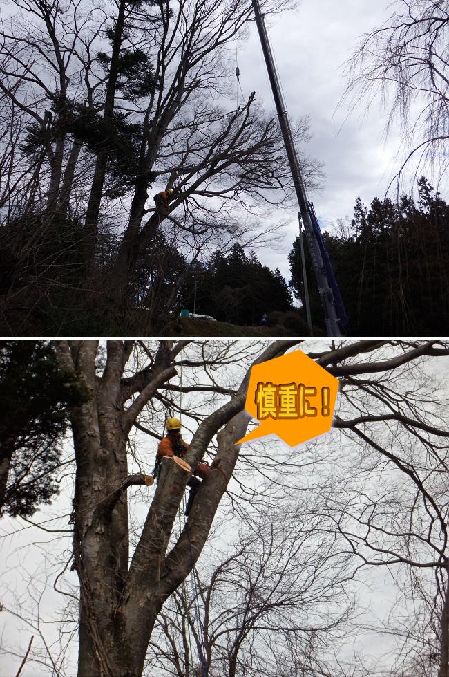 安曇野市の高い木・太い木の切り倒し伐採作業