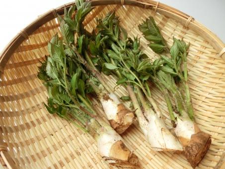うど山菜採りと 山うどの美味しいレシピ4品&おまけ1品