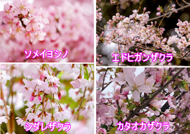幻の桜「カタオカザクラ」を見に行こう!