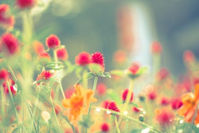 夏から秋の花壇 宿根草・・・タイマツバナ(ベルガモット)、ダンゴギク(ヘレト)、スカビオサ・コーカシス、コレオプシス、ペンタス、ノボタン 一年草(暑さに強い)・・・センニチコウ、ガザニア、ペチュニア