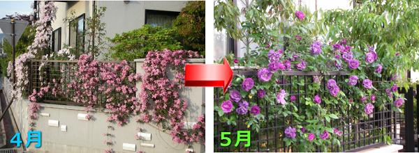 クレマチスモンタナとバラの庭