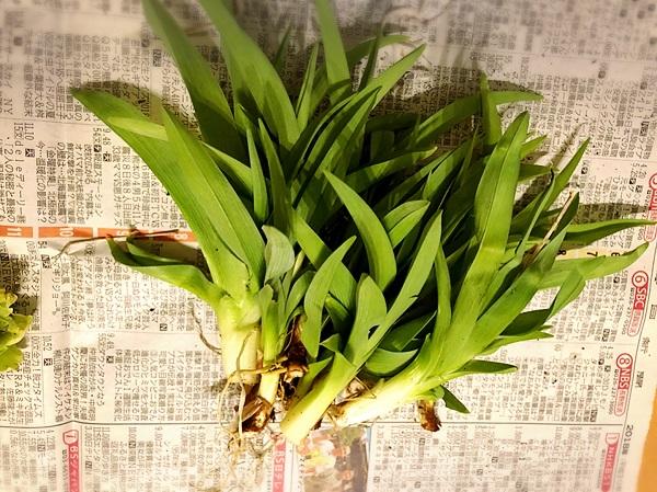 収穫②かんじん草