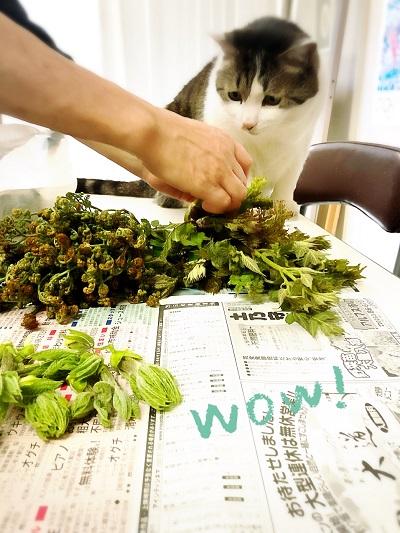 【たらの芽・こしあぶら・わらび】春の山菜採りに行ってきました!