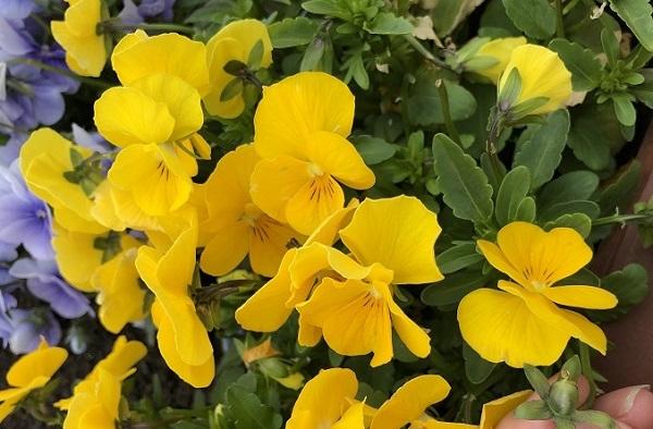 最初に植えた中心のハートは黄色のパンジーでした。