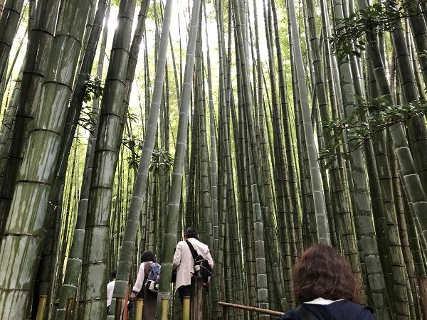 鎌倉 報国寺で竹林散策後の抹茶が最高!紫陽花6月の梅雨の時期の竹林散策