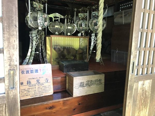 佐渡 称光寺 タヌキの剥製