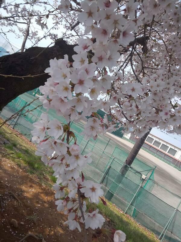 コロナウィルスの影響で外出自粛している中、松本は桜が満開です。 大々的なお花見も、外食も出来ないので、おばあちゃんを連れて、桜を少しだけ見に行ってきました。
