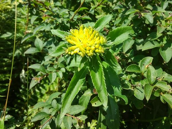 ホソバノキリンソウ  細葉の黄輪草 高ボッチ