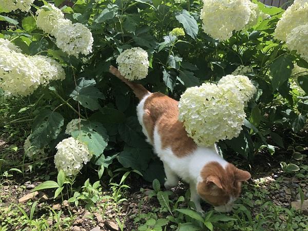 アジサイと猫