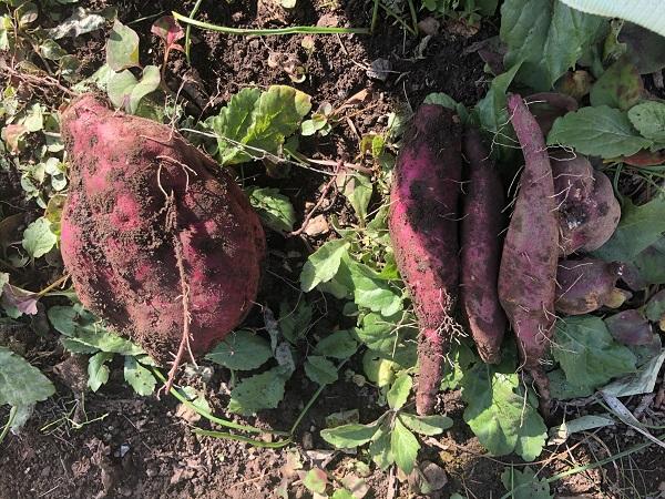 家庭菜園さつまいも「シルクスイート」を収穫☆美味しいスイーツ&焼き芋