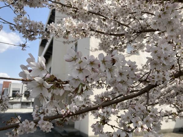 塩尻市も、桜が満開になりました