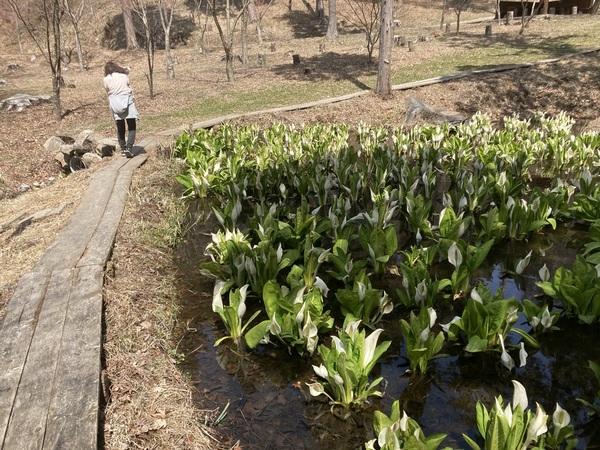 大きな葉っぱのようチロルの森の隣にある紅葉山の水芭蕉の池に、水芭蕉が満開になりました。な形をした白い花の