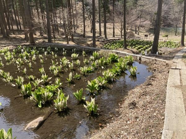 チロルの森の隣にある紅葉山の水芭蕉の池に、水芭蕉が満開になりました。